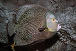 french angelfish swimming right