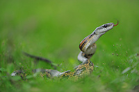 Texas Rat Snake (Elaphe obsoleta lindheimeri), adult in defense posture, Fennessey Ranch, Refugio, Coastal Bend, Texas Coast, USA
