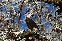 Bald Eagle calling while perched in cottonwood tree.  Winter.  Where eagles gather in large numbers in fall and winter much vocalizing goes on.