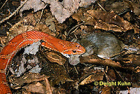 1R22-626z  Corn Snake, Banded Corn Snake, Elaphe guttata guttata or Pantherophis guttata guttata, catching and eating mouse