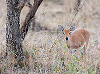 When we saw this antelope, we thought it was a duiker, which is a similar size. The correct ID came after the trip.