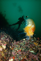 Scuba Diver and Lion's Mane Jellyfish ( Cyanea capillata),  British Columbia, Canada.