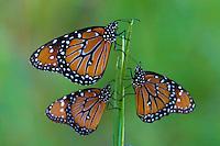 Monarch butterflies after sunset, Cibolo Nature Center, Boerne, Texas.<br /> <br /> Canon EOS 30D, 70-200 f/2.8L lens with 1.4x teleconverter
