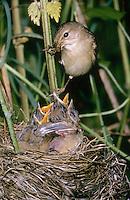 Sumpfrohrsänger, Altvogel füttert bettelnde, sperrende Küken im Nest, Sumpf-Rohrsänger, Rohrsänger, Acrocephalus palustris, marsh warbler