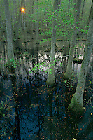 Congaree Swamp<br />  from the Boardwalk<br /> Congaree Swamp National Monument<br /> South Carolina