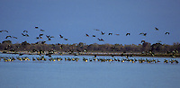 Thousands of Magpie Geese at Yellow waters, Kakadu National Park, Northern Territory, Australia