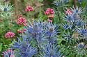 Blue Eryngium x oliverianum and Centranthus ruber (Red Valerian), mid July.