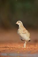Northern Bobwhite (Colinus virginianus), young running, Rio Grande Valley, South Texas, Texas, USA