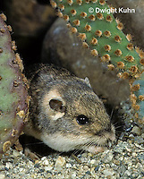 MU31-034z  Silky Pocket Mouse among desert cactus habitat - Perognathus flavus