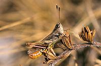 Rote Keulenschrecke, Männchen, Gomphocerippus rufus, Gomphocerus rufus, Rufous grasshopper, male