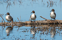 Northern Pintail, Anas acuta, at Colusa National Wildlife Refuge, California