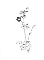 Donkere ooievaarsbek (Geranium phaeum)