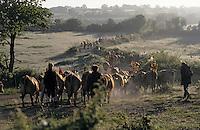 Europe/France/Auvergne/12/Aveyron/Env. de Saint-Come d'Olt: Passage du troupeau de la famille Rieucau lors de la transhumance en Aubrac