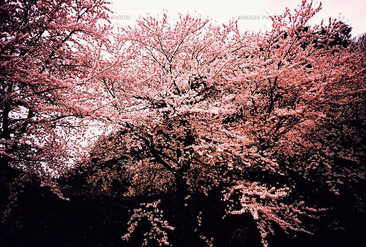 Sakura in Shinjo, Yamagata, Japan.