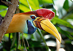 The large gill of hornbills are quite frightening to many smaller birds. The Sulawesi red-knobbed hornbill is native to Indonesian rainforests.