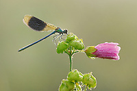 Banded Demoiselle (Calopteryx splendens), male perched on flower dew covered, Zug, Switzerland