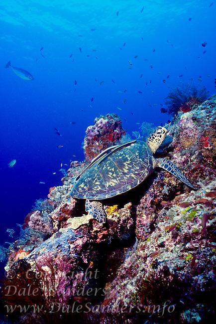 Green Sea Turtle and reef, Celebes Sea.