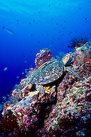 Green Sea Turtle and reef, Celebes Sea.