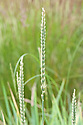 Leymus racemosus, early July. A perennial wild rye commonly known as Mammoth wild rye.