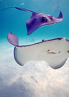 Southern Stingrays at Stingray City of Grand Cayman Island. Georgetown Grand Cayman Island British West Indies Caribbean.