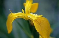 Yellow Iris ( iris pseudacorus ) Closeup of yellow flower petals.