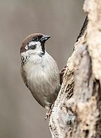 Eurasian Tree Sparrow (Passer montanus), Hebertshausen, Bavaria, Germany, Europe