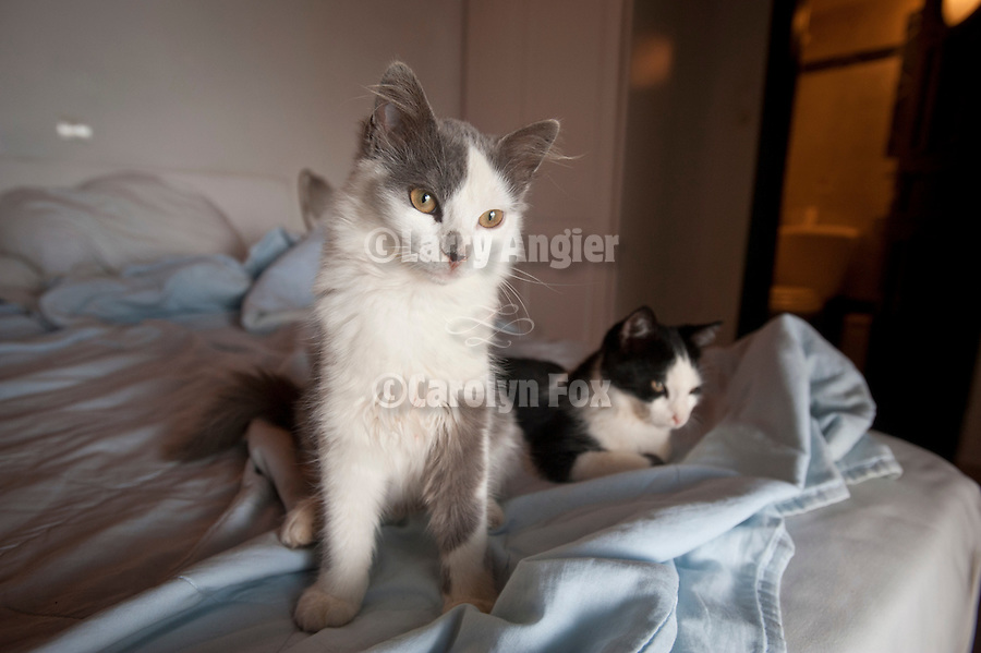 Two cats in the bed, Ampelos Resort, Folegandros, Cyclades, Greece