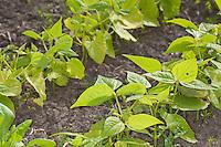 Gartenbohne, Garten-Bohne, Fisole, Grüne Bohne, Stangenbohne, Stangen-Bohne, Blatt, Blätter, Phaseolus vulgaris, common bean, string bean, field bean, flageolet bean, French bean, garden bean, haricot bean, pop bean, snap bean, bush bean