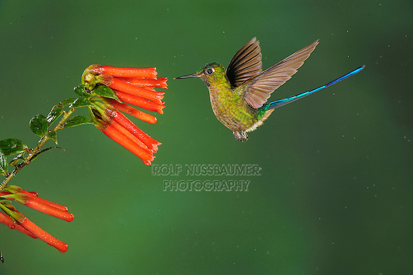Violet-tailed Sylph (Aglaiocercus coelestis), male feeding on flower, Mindo, Ecuador, Andes, South America