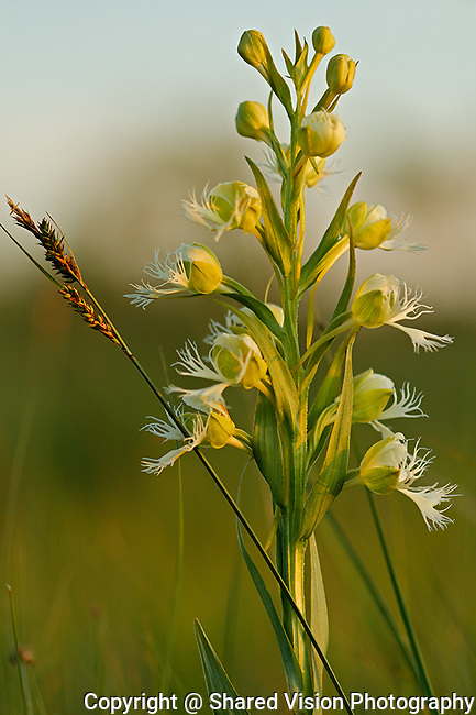 Western Fringed Orchid, Sunset at Manitoba Tall Grass Prairie Preserve. Southern Block