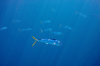 dorado, mahi-mahi, mahimahi, mahi mahi, or dolphin fish, Coryphaena hippurus, juvenile schoolies swimming near a floating log, off South Kona Coast, Big Island, Hawaii, USA, Pacific Ocean