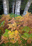 Western Highlands, Scotland: Detail of birch trunks and autumn colored ferns in Glen Strathfarrar