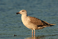 Immature Great Black-backed Gull (Larus marinus) in 1st summer plumage. Tompkin's County, New York. July.