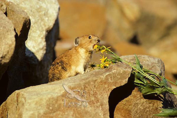 Pika (Ochotona princeps) about to eat groundsel flower, Pacific N.W.