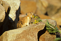 Pika (Ochotona princeps) about to eat groundsel flower, Pacific N.W.