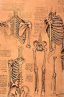 Visual Arts:  Leonardo Drawings--Skeleton of trunk & limbs.  Photo '84.