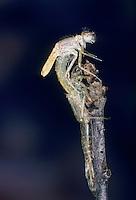 Hufeisen-Azurjungfer, Hufeisenazurjungfer, Azurjungfer, Weibchen beim Schlupf, Schlupfserie, Larve schlüpft aus ihrer Larvenhaut, Exuvie, Metamorphose, Coenagrion puella, Azure Damselfly