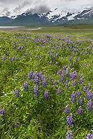 Field of lupine wildflowers, cape douglas, Katmai National Park, Alaska Peninsula, southwest Alaska. Aleutian mountain range in the distance.