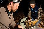 Mountain Lion (Puma concolor) biologist, Max Allen, holding six week old male cub, before biologist Paul Houghtaling places radio collar on him, Santa Cruz Puma Project, Santa Cruz, Monterey Bay, California