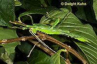 OR07-580z Jungle Nymph Walking Stick female, Heteropteryx dilatata, Malaysia