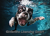 REALISTIC ANIMALS, REALISTISCHE TIERE, ANIMALES REALISTICOS, dogs, paintings+++++SethC_ROCCO_WATER_MG_4052highworkREV3,USLGSC61,#A#, EVERYDAY ,underwater dogs,photos,fotos ,Seth
