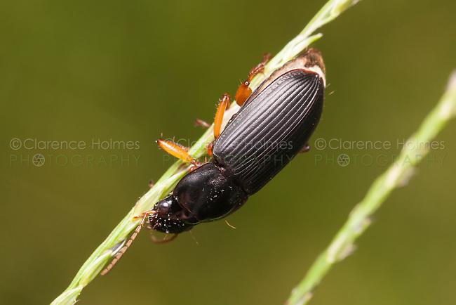 Ground Beetle (Pseudoophonus)