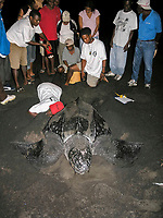 local people involved in sea turtle watching, nesting leatherback sea turtle, Dermochelys coriacea, Dominica, West Indies, Caribbean, Atlantic