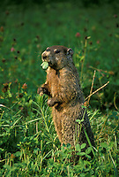 Woodchuck or groundhog standing eating clover, Marota monax, in profile in late afternoon sun