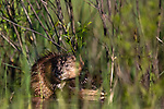 Two muskrats hidden by the vegetation in a northern Wisconsin wetland