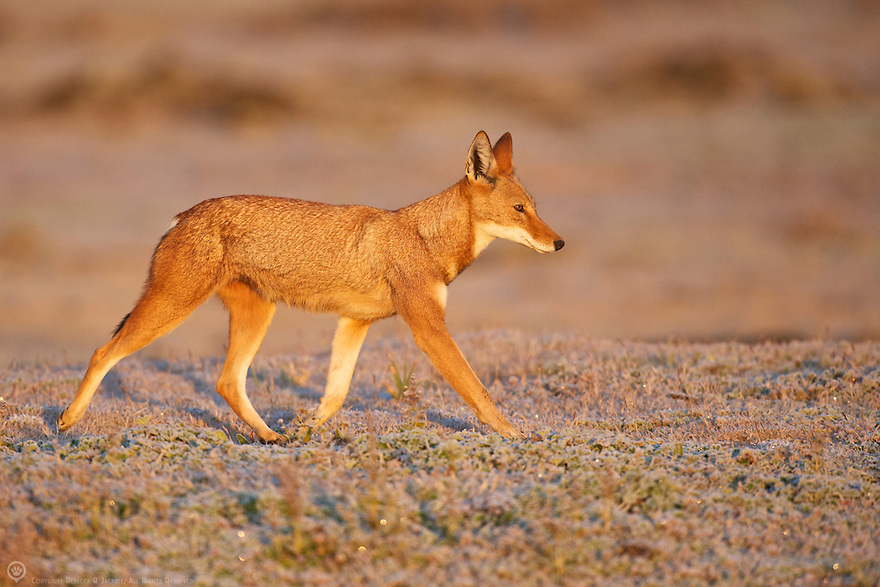 A young member of the Tarura pack set off to hunt on a frosty morning.