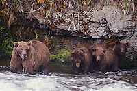 Kodiak Brown Bear (Ursus arctos middendorffi), adult with young, Katmai National Park, Alaska, USA