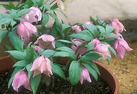 Helleborus thibetanus hellebore species pink flowers in pot