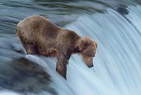 609682204 a wild adult brown bear ursus arctos stands at the falls waiting for jumping salmon near brooks lodge in katmai national park alaska