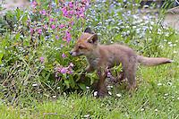 Rotfuchs, verwaistes Jungtier wird in menschlicher Obhut großgezogen, Jungtier wird von Hand aufgezogen, spielt im Garten, Aufzucht eines Wildtieres, Welpe, Tierkind, Tierbaby, Tierbabies, Rot-Fuchs, Fuchs, Vulpes vulpes, red fox